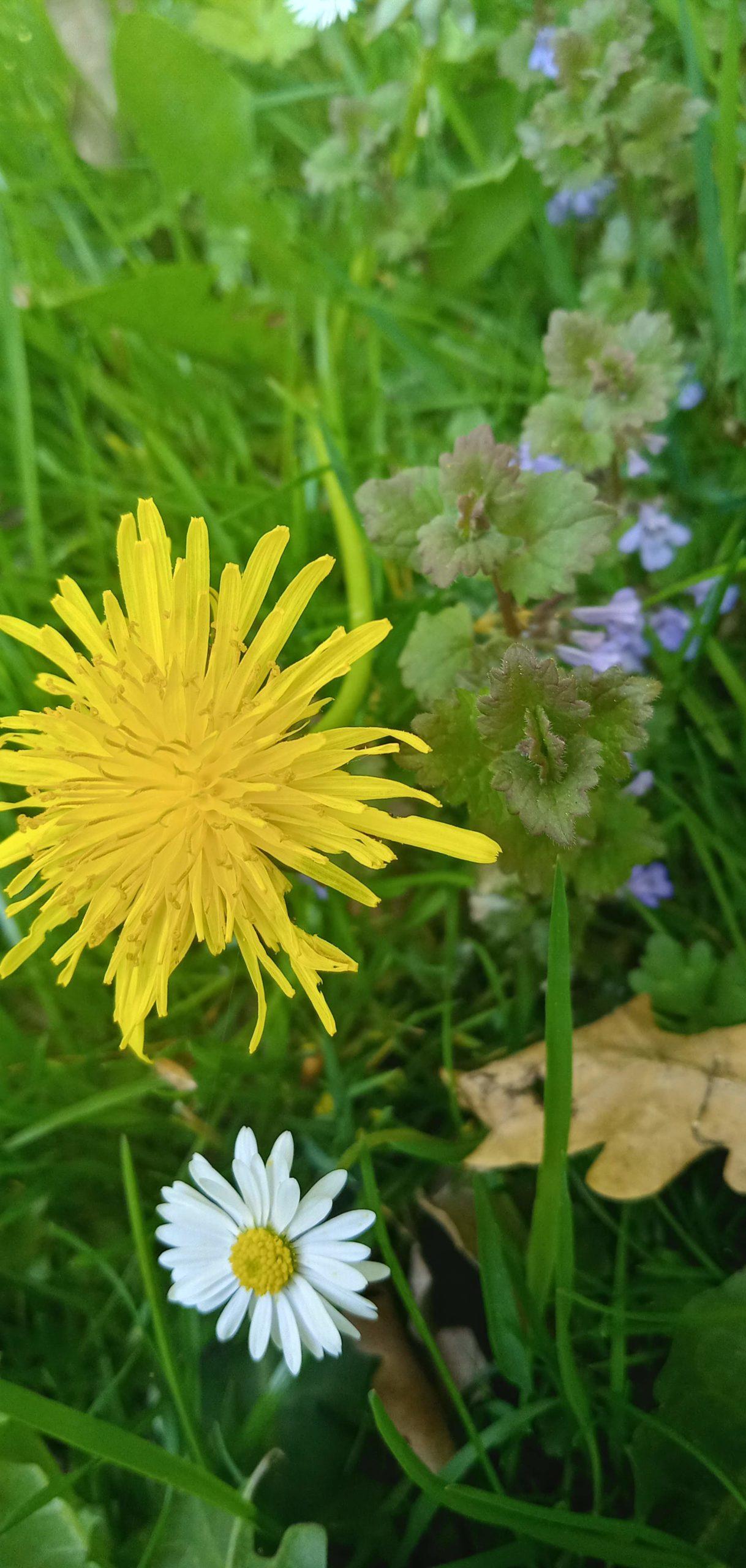 Kwiaty mniszka, stokrotka i bluszczyk kurdybanek